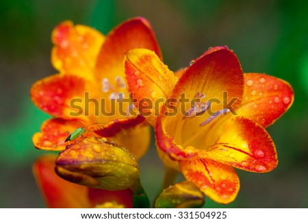 Beautiful freesia flowers with water drops and green insect on it close up. - stock photo