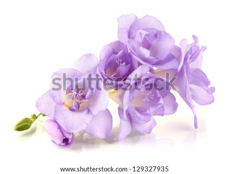 Beautiful freesia, isolated on white - stock photo