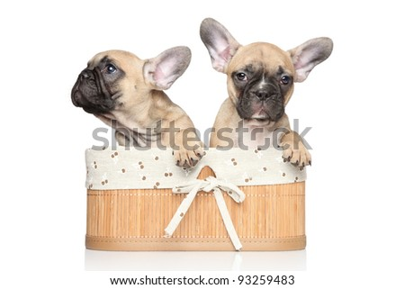 Beautiful French bulldog puppies in basket on a white background - stock photo