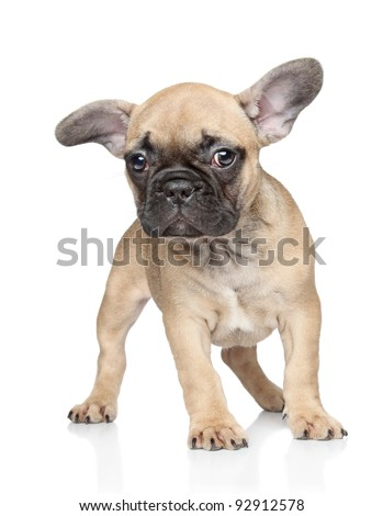Beautiful French bulldog puppy on white background - stock photo