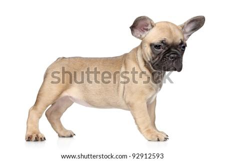 Beautiful French bulldog puppy on white background - stock photo
