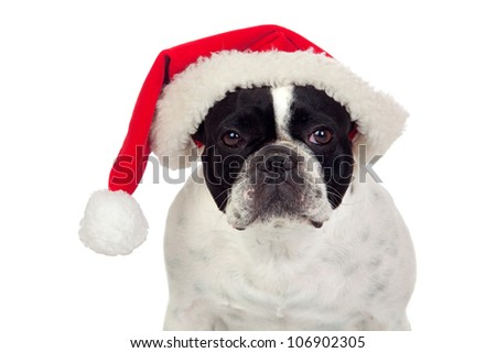 Beautiful french bulldog with christmas hat isolated on white background - stock photo