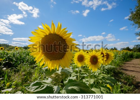 Beautiful fresh and colorful sunflowers growing along a long dirt farm road - stock photo