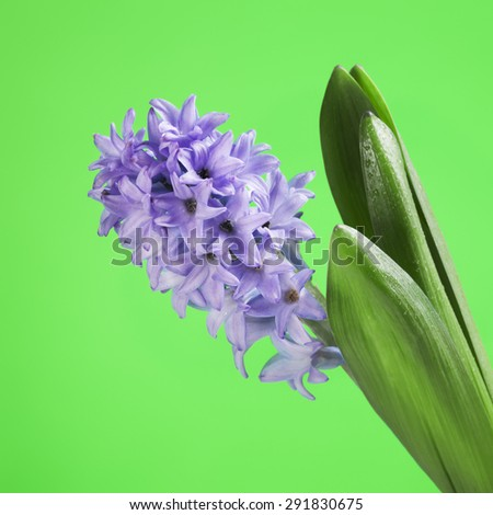 beautiful fresh blue hyacinth on green background - stock photo