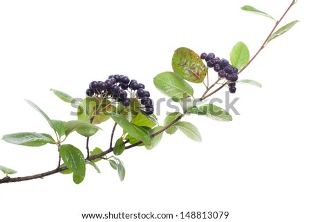 beautiful fresh chokeberry twig isolated on white background - stock photo