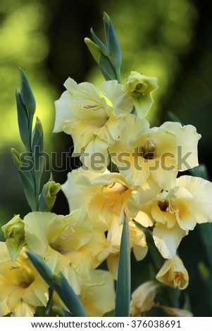 Beautiful fresh graceful yellow fresh gladiolus cornflag flower fresh splendid sward plant in blossom beauty of nature closeup on blur green background outdoor, vertical picture - stock photo