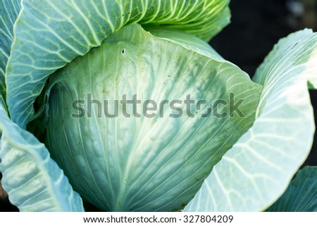 Beautiful fresh green cabbage in the garden - stock photo