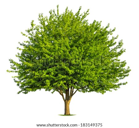 Beautiful fresh green deciduous tree isolated on pure white background - stock photo