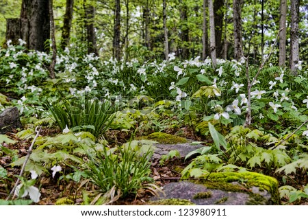 beautiful fresh green spring forest with trillium flowers