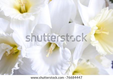 Beautiful fresh narcissus - gift of the nature - stock photo