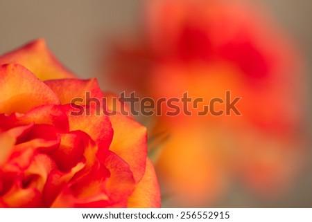 beautiful fresh orange rose in the garden - stock photo