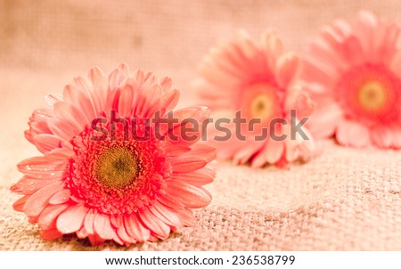 Beautiful fresh pink gerbera flowers on a wooden table in muted pastel vintage retro style.