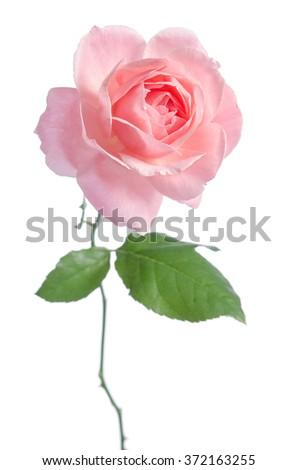 Beautiful fresh pink rose isolated on white background