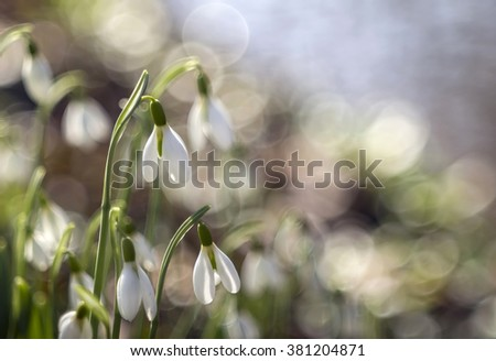 Beautiful fresh snowdrop flowers in early spring - stock photo