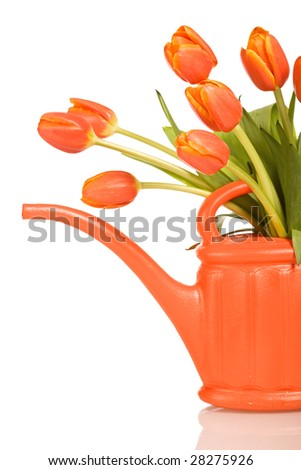 Beautiful fresh tulips in orange watering can - spring concept - isolated - stock photo