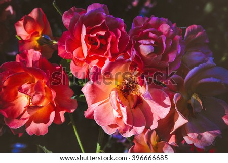 Beautiful fresh wild rose flowers blooming in spring or summer with soft wavy light orange petals - stock photo