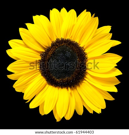 Beautiful Fresh Yellow Sunflower Flower. Closeup on Petals Isolated on Black Background - stock photo
