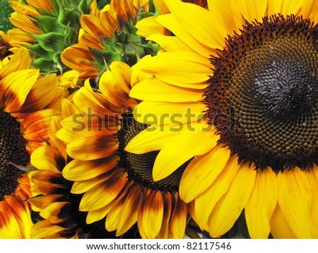 Beautiful fresh yellow Sunflower with petals closeup. - stock photo