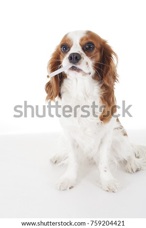 Popular Cavalier Canine Adorable Dog - stock-photo-beautiful-friendly-cavalier-king-charles-spaniel-dog-purebred-canine-trained-dog-puppy-blenheim-759204421  Pic_949617  .jpg