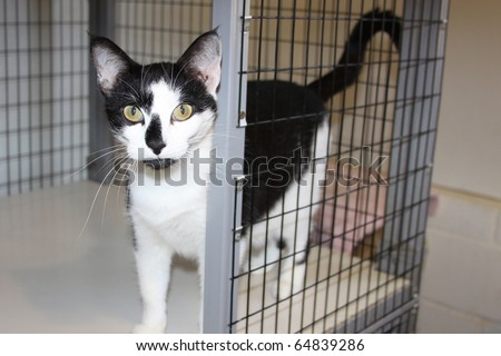 Beautiful friendly tuxedo cat at a local animal shelter waiting to be adopted into a loving home. - stock photo