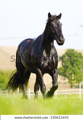 beautiful friesian horse running in nature