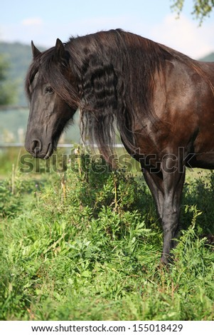 Beautiful friesian horse wit long mane on pasturage