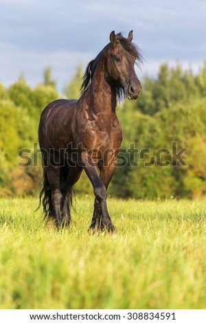 Beautiful Frisian stallion running free.