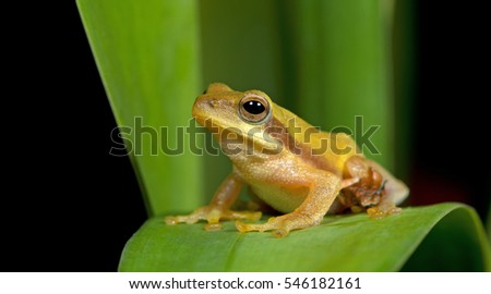 Beautiful frog on green leaf , Frog of Thailand