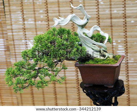 Beautiful fruits of Japanese Bonsai. The age of about 30 years. In the Eastern tradition, trees bonsai are classic elements of interior and landscape design.