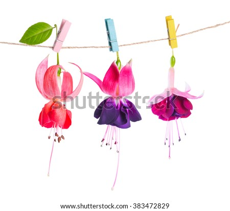 beautiful fuchsia flowers handing on rope with colorful clothespin is isolated on white background, close up  - stock photo