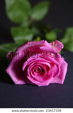 beautiful ful-blown rose on red background - stock photo
