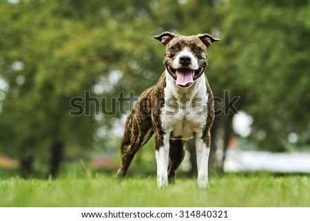 beautiful fun and majestic American Staffordshire Terrier dog or puppy champion in summer park - stock photo