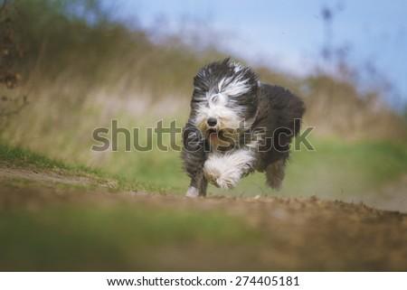 beautiful fun Bearded Collie dog Old English Sheepdog puppy running flying jump  - stock photo