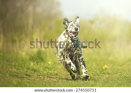 beautiful fun crazy young english setter dog puppy running jump flying hunting in summer - stock photo
