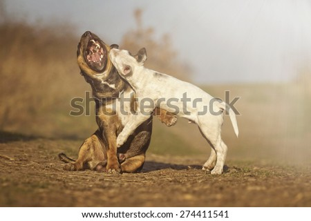 beautiful fun english bull terrier dog and puppy fight angry barks and protection in sunset nature - stock photo