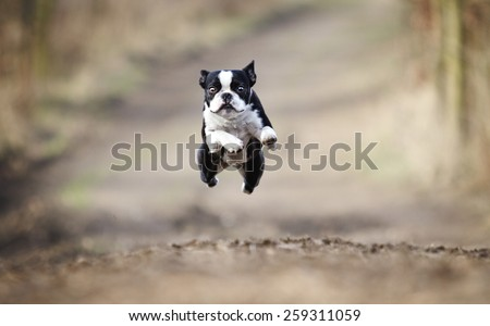 beautiful fun young boston terrier dog trick puppy flying jump and running crazy - stock photo