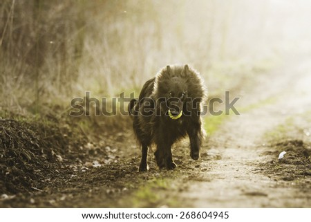 beautiful fun young groenendael dog puppy shepherd running at sunset - stock photo