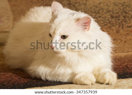 Beautiful funy White Cat  Portrait. Home pets