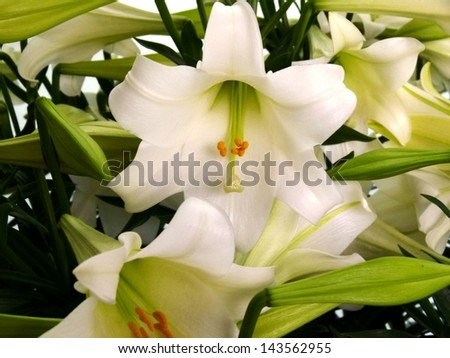 beautiful garden flower blossoms white lily - stock photo