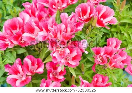 beautiful garden flower Godetia amoena Ruddigore - stock photo