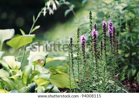 Beautiful garden in the morning light with Blazing Star (Liatris) flowers and hostas in the background. - stock photo