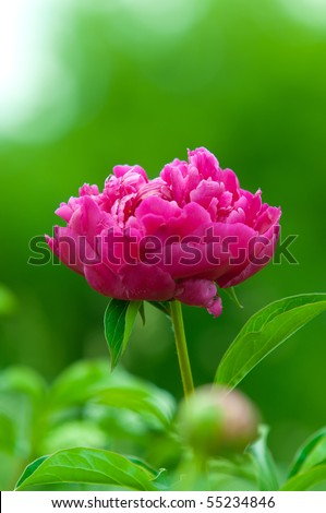 Beautiful garden of red peonies - stock photo