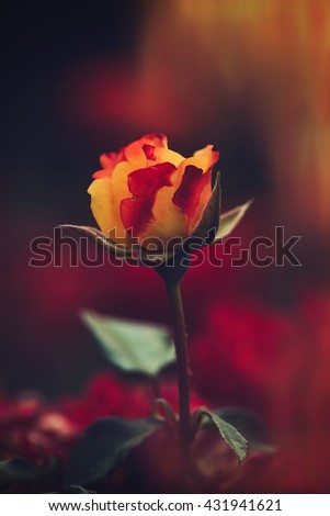 beautiful garden rose background closeup shallow depth of field