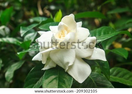 beautiful Gardenia jasminoides flower on tree in garden - stock photo