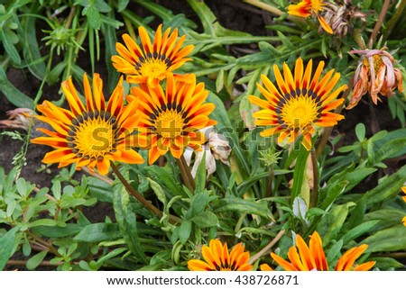 Beautiful gazania