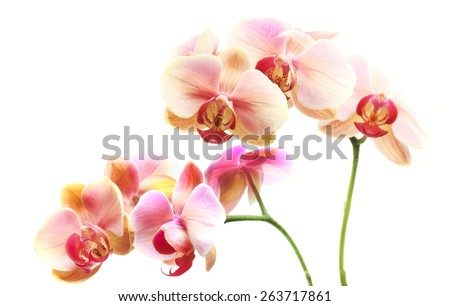 Beautiful gentle branch of white romantic orchid flowers isolated - stock photo