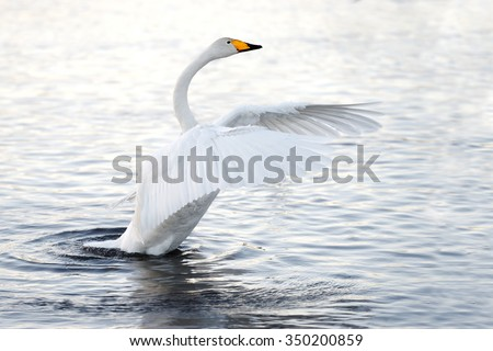 Beautiful, gentle, lonely swan floating on the lake in the wild - stock photo