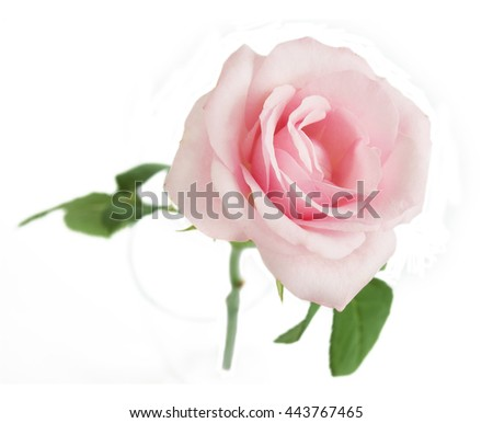 Beautiful gentle pink rose isolated on white background - stock photo
