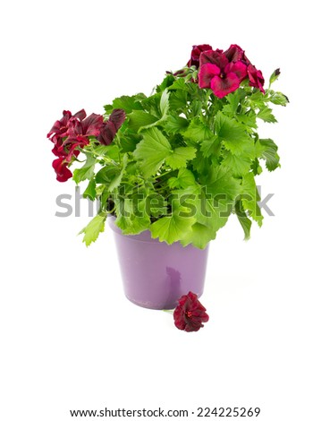 beautiful geranium flower in a pot over white - stock photo