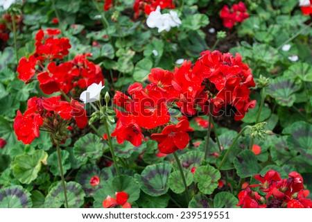 Beautiful geranium flowers background  - stock photo